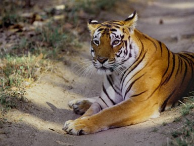 Since the bait is live, chances of trapping the errant tigress was literally impossible