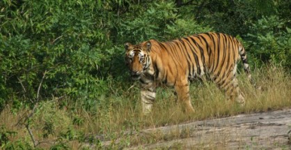 The dead tigress appeared to be a healthy feline with no injury or deformity