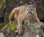 The mountain lions of Santa Monica are a rare example of the large carnivore