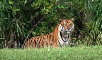 This is the 11th incident in the current year when a tiger had killed a human being in this Tiger Reserve