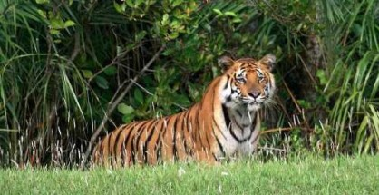 This is the first ever effort to quantify tiger abundance in Bangladesh Sundarbans