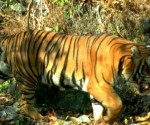 Officials said 1,522 grids were identified in the southern belt that represents potential tiger habitats