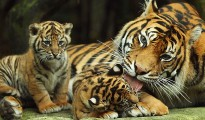 By the year 2012, seven tigers were brought to this area from Ranthambore Tiger Reserve