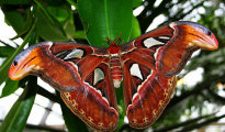 Atlas Moths caterpillar weaves its cocoon out of broken strands of silk