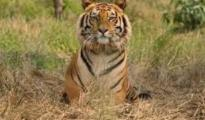 he present location of this tiger is reported to be in the village Rehmankhera in Maal tehsil