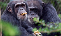 Chimpanzee males are known for aggression toward their female group mates