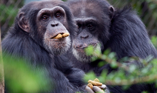 Chimpanzees used a variety of enforcement strategies to overcome competition
