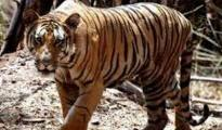 Every tiger has different stripe pattern on their body