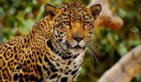 Leopards avoids human encounters despite depending on domestic livestock for their survival