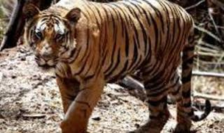 The forest patch in which the tiger has taken shelter has tall grass in which a tiger cannot be darted