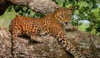 An official of the forest department said that the feline died a natural death