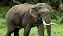 """""""Strenuous efforts"""" were made earlier for two days to tranquilise and capture the tusker"""
