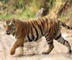 Plans are also afoot to interlink Amangarh Tiger Reserve with Corbett Tiger Reserve