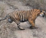 Tiger generally walks on well beaten forested tracts in its territory when it ventures out on its night patrol