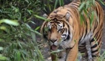 Project Tiger officials of Namdapha Tiger Reserve fixed 20 cameras at strategic locations covering well beaten paths