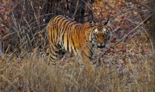 A tiger cub after attaining adulthood, moves to a new territory to establish its own homing range
