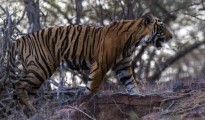 AS per latest census, there are 60 tigers in the Ranthambore national Park