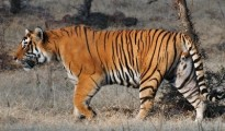 The recent Tiger census figure of the state shows a increase of  35% in the tiger population