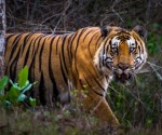 Half of the world's tiger population is in India itself