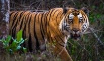 The state has asked the central government to allocate special funds to conserve and protect the big cats