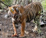 The incident of tiger attack has created a sense of panic among villagers