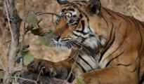 Fight broke out in which the tiger made futile attempt to get a grip on the throat of the bull