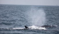 The blue whale is the largest mammal found on the planet earth