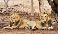 Asiatic lions are endangered and over 500 are found in the Gir forests
