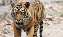 In the current year alone, this is the third incident of man falling prey to tiger in the area