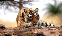 There was a lull of six-month and suddenly on Sunday night loud roar of a tiger was heard