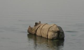 The prime habitat of rhinos has been flooded in Kaziranga Park