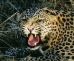 After intense search, the leopard was located and caught