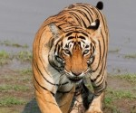 One of the two, (T25) was not shy of human presence and showed an aggressive traits