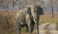Wild elephant had been raiding the Gendrapara village and other adjacent areas for past few days