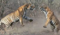 The tiger got badly mauled in a territorial fight with another tiger