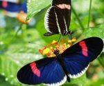 """Female Heliconius develop a learned preference -- a """"search image"""" for passionflowers"""