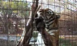 The incident occurred on Friday in a tiger cage of Thai Binh Duong Company