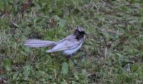 Residents of the northern Perth suburb of Mount Lawley were surprised to find the white willie wagtail
